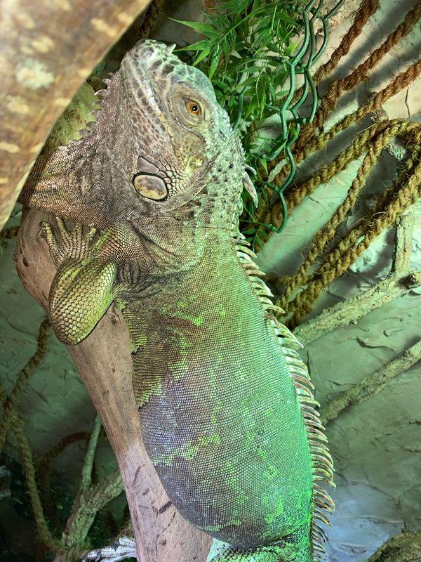 iguana iguana Leguan Dame