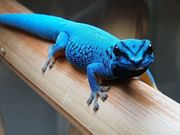 Lygodactylus williamsi Himmelblauer Zwergtaggecko