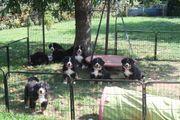 reinrassige Berner Sennenhund Welpen