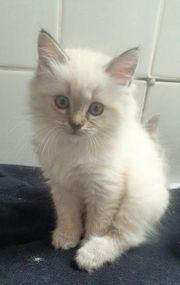 Ragdoll Mix BKH Weibchen Kitten