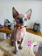 Zuckersüße Sphynx Kitten Nacktkätzchen