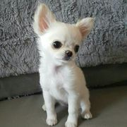 Chihuahua Welpe 12 Wochen altes
