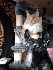 Reinrassige Maine Coon Katze Kitten