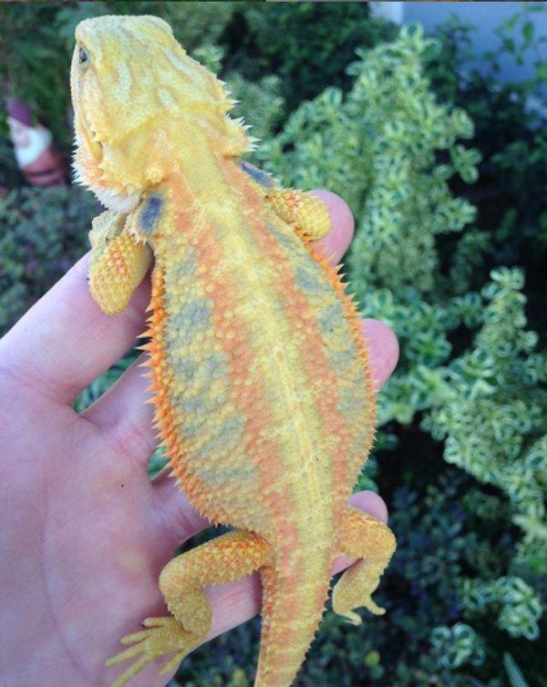 Translucent Citrus Tiger Weibchen 0. 1 Bartagame