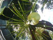 Teichpflanze Krebsschere
