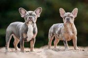 Exklusive Französische Bulldogge Welpen in