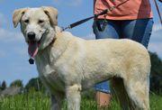 Labradormischling - Hündin - 7 Monate alt