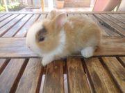 tolle Farben Zwerg Kaninchen suchen