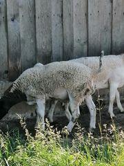 Schafe Dorper