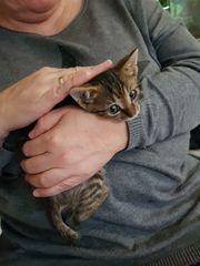 2 Kitten Babykatzen Katzen EKHs