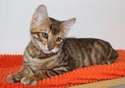 Exlusive Toyger Kätzchen Kitten alternativ