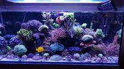 Korallen Meerwasser LPS SPS Ableger