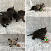 Süße BKH Kitten auch im