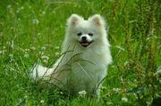 Deckrüde Pomeranian
