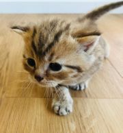 Reinrassige BKH Kitten Black Golden