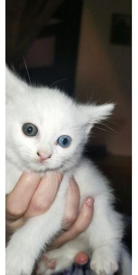 Ein Kätzchen Odd-Eyed