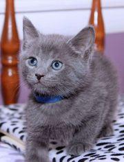 zwei russisch Blau Kitten