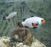 Meerwasser Clownfische Snowflake Paar Aquarium