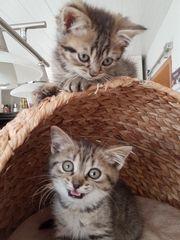 Perser-BKH-Mix-Kitten