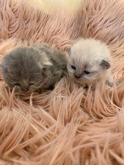 Perser Katzen mit Nase reinrassig