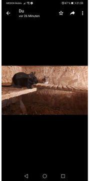Zwei Degumännchen suchen ein Zuhause