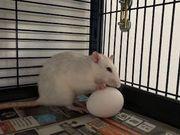 Verkaufe meinen Rattenkäfig mit 5