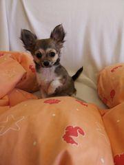 Reinrassige langhaarige Mini-Chihuahua Welpen