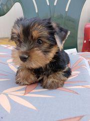 Yorkshire Terrier 3 Monaten Alt