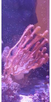 Gorgonie Meerwasser Korallen Ableger