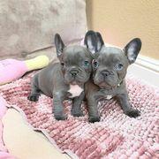 Shöne Französische Bulldoggen Welpen sybfjg