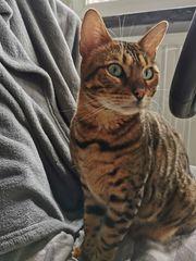 Bengalkatze - mit Stammbaum - 3 Jahre