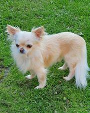 Zauberhafter Chihuahua Deckrüde KEIN VERKAUF