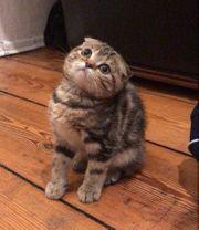 Bkh Scottish Fold kitten multicolor