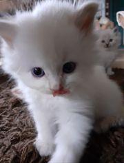 Traumhafte Edelmix Kätzchen Sibirische Waldkatze