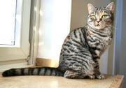 Bildschöne BKH Katze 2 Jahre