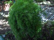 Asperagus Zimmerpflanze Zierpflanze Omas Kultpflanze