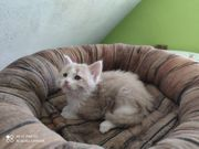 Maine Coon Mix Kitten ab