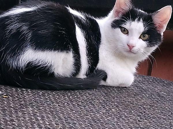 Wunderschöner Mai Kater Kitten sucht