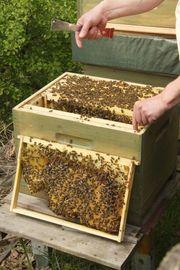 Bienenschwärme Bienenvölker Königinnen Carnica Buckfast