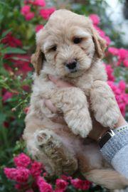 Tibet Terrier - Pudel Tibet doodle