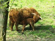 Bio Highland Kuh zu Verkaufen