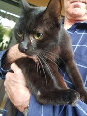 Katze weiblich schwarz zugelaufen