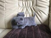 BKH Kitten Wurfmeldung