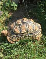 Pantherschildkröten- Geochelone pardalis babcocki - Landschildkröten