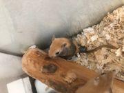Junge Rennmäuse Gerbil 7 Wochen