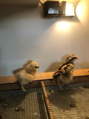 Seidenhühnerküken