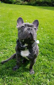 Deckrüde französische Bulldogge in blue