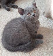 BKH Kitten noch zwei blue