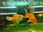Aquarium Goldfische zu verkaufen