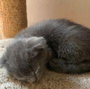 BKH Scottish Fold Kitten- Faltohr
